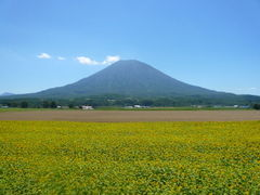 ヒマワリ畑と羊蹄山