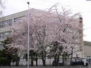 札幌・月寒中学校前の桜写真