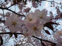 札幌ドーム敷地内の桜