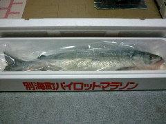 別海町パイロットマラソン完走賞の鮭1匹