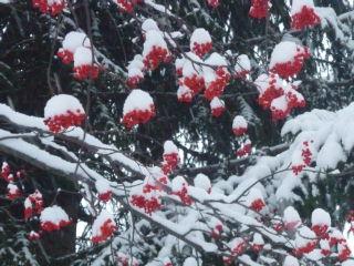 雪が積もっているナナカマドの実