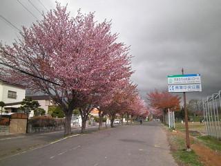 陽だまりロード桜並木