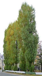 つきさっぷ郷土資料館前のポプラ並木