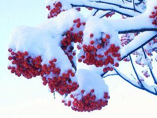 雪をかぶるナナカマド