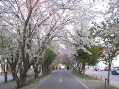 白石サイクリングロードの桜並木